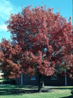 A Shumard red oak in the fall after the leaves turn.Courtney Perry/Fashion at the Park