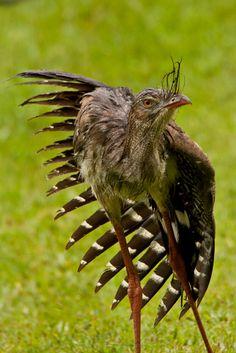 Foto seriema (Cariama cristata) por Alex Kusmenkovsky   Wiki Aves - A Enciclopédia das Aves do Brasil