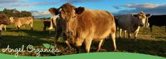 Angel Organics » Price List   Simply Divine Certfied Organic beef, lamb and seasonal fruits and vegetables