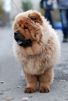 74/365 - Chow-chow by olfiika, via Flickr
