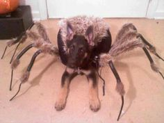 This puppy spider costume freaks me out! From the German Shepherd Dog Community on Facebook