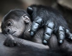 A baby gorilla lays on its mother Rebecca on July 12, 2012 at the zoo in western Germany.