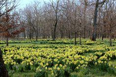 Daffodil Glade at the Morton Arboretum, Lisle IL