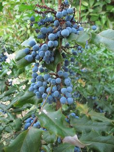 Oregon grapes (Mahonia aquifolium) is a species of flowering plant native to western North America. The plant produces purplist-black fruits which are quite tart and contain large seeds