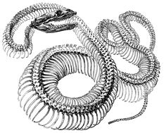 Antique Engraving Graphic - Snake Skeleton - The Graphics Fairy