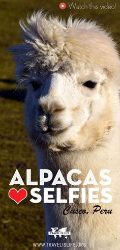 Alpacas in Cusco Peru