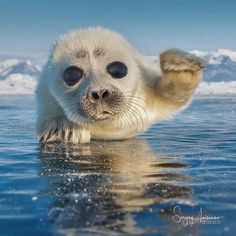 Young Seal pup coming to say Hello! Seal Pup, Baby Seal, Cute Baby Animals, Animals And Pets, Funny Animals, Beautiful Creatures, Animals Beautiful, Racing Extinction, Gato Animal
