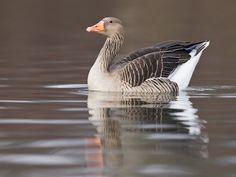 the greylag goose (anser anser). this species is found throughout the old world.