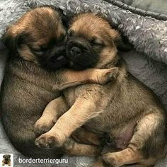 Tips And Tricks For Training Your Dog Border Terrier Welpen, Border Terrier Puppy, Terrier Puppies, Terriers, Puppy Care, Pet Puppy, Pet Dogs, Dog Cat, Pets