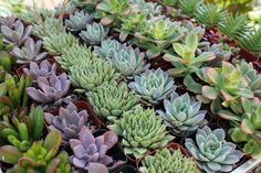 "2"" Wedding Succulents - Succulents for Sale Bulk Succulent Prices"