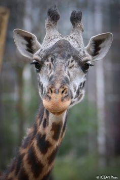 https://flic.kr/p/FnWDBY | Cincinnati Zoo 3-28-16-0526 | Giraffe