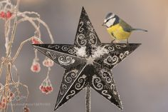 titmouse and the star by geertweggen #animals #animal #pet #pets #animales #animallovers #photooftheday #amazing #picoftheday
