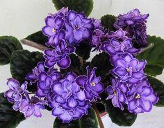Пурпурный мираж люкс (Морев)
