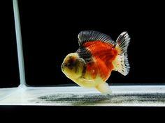 Oranda Gold Fish 7