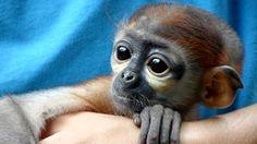 Fighting the Wildlife Trade in Vietnam. Animal rescue in Vietnam. Volunteer Opportunities.