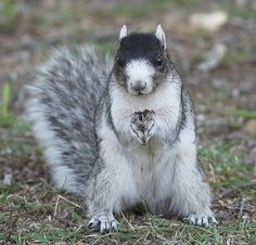 Fox Squirrel by Skipbro, via Flickr At Brookgreen Gardens, SC