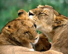 Beautiful African Animals Safaris: The African Beautiful Lion King Safari Animals, Baby Animals, Funny Animals, Cute Animals, Wild Animals, Lion Hd Wallpaper, Animal Wallpaper, Beautiful Creatures, Animals Beautiful