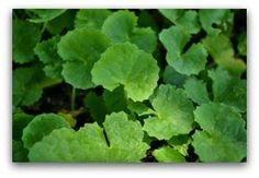 5 Best Health Benefits & Uses Of Gotu Kola Tea | Mandukaparni Tea | Vallarai Keerai Tea | wildturmeric