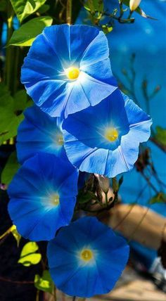 Climbing flowers – Morning Glories named Heavenly Blue. – photographer Skip Climbing flowers – Morning Glories named Heavenly Blue.