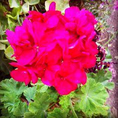 Bright geranium smelling so beautifully