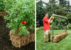 Straw bale conditioned with fertilizer and water for growing plants