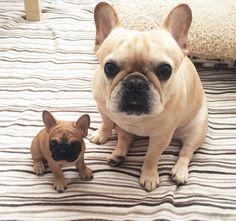 Fleur De Vanille kennel www.frenchbulldogbreed.net