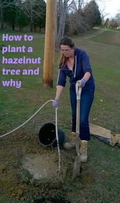 Plant A Hazelnut Tree: Homestead, Health and Hazelnuts Here is how to plant a hazelnut tree and why it is a very practical, rewarding thing to do. Homestead and health benefits of hazelnuts. Great for self-sufficiency and survivalist too. Hazelnut Tree, Fruit Garden, Garden Trees, Edible Garden, Herbs Garden, Trees And Shrubs, Trees To Plant, Tree Planting, Gardens
