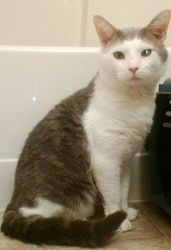Rocky is an adoptable Domestic Short Hair - Brown Cat in Pelham, NH. Rocky is 3 1/2 year old reserved gentleman. He found his way to our rescue after his elderly human mother passed away and his elde...