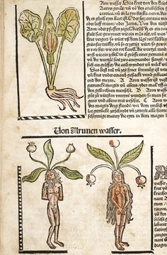 The concept that there was a male and a female version of mandrake continued well into the 15th Century. This error was based on the fact that there were several species of mandrake within the Mediterranean region. These illustrations have partial frames to set the images apart from the script.