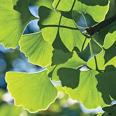 this ginko is so slow growing I would be 87 before it got big enough to enjoy!