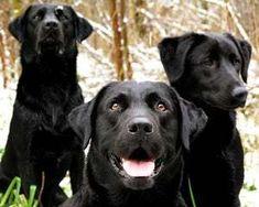 Black Lab Labrador Retriever Dog Breed Info and Resources Labrador Retrievers, Black Labrador Retriever, Golden Retrievers, Retriever Puppies, Labrador Puppies, Big Dogs, Cute Dogs, Schwarzer Labrador Retriever, Puppy List