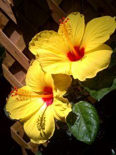 Yellow Hibiscus @ Casa del Bella