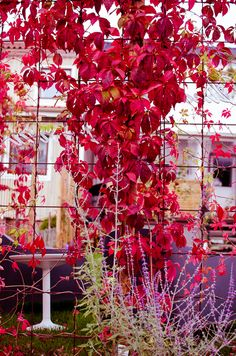 Wild wine climbing on reinforcement / reinforcement net, garden design, garden, … Metal Trellis, Best Indoor Plants, Autumn Garden, Autumn Fall, Flower Images, Trees And Shrubs, Garden Inspiration, Beautiful Gardens, Garden Plants