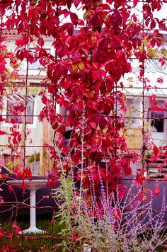 Klättervildvin på armeringsnät/armeringsjärn, trädgårdsdesign, trädgård, garden, autumn, höst  -- Photo by/see more at explorista.se --