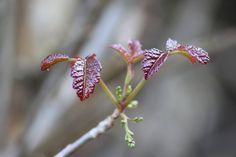 New leaves - poison oak Toxicodendron diversilobum Poison Oak, New Leaf, Leaves, Plants, Photography, Photograph, Fotografie, Photoshoot, Plant