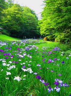 the shobu flower garden  The Shobu flower (Acorus calamus) garden.  Meiji-Jingu Shrine Gyoyen Park, Tokyo.