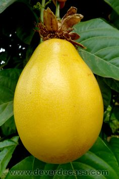 Passiflora alata, o maracujá doce Mango Fruit, Fruit And Veg, Fresh Fruit, Weird Fruit, Strange Fruit, Exotic Fruit, Tropical Fruits, Fruit Plants, Fruit Trees