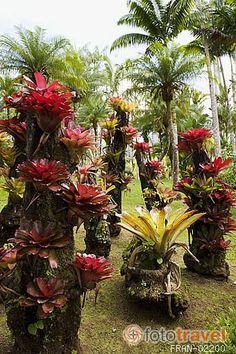 Fotos en venta de: Bromelias varias en el Jardin Balata. Norte de la isla de MARTINICA. Francia. Caribe