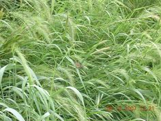 elymus virginicus - Google Search
