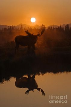 Moose At Dawn on the Yellowstone River, Yellowstone National Park, Wyoming; photo by Craig Lovell