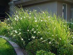 Bicolor Iris - fill in beds in backyard Landscape Edging, Garden Edging, Landscape Designs, Coastal Gardens, White Gardens, Plants For Planters, Xeriscape Plants, South Facing Garden, Unusual Flowers