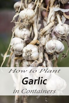 How to Plant Garlic in Containers
