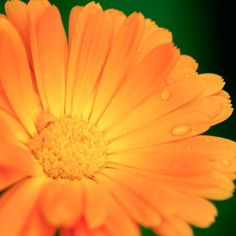 Calendula: The Anti-Inflammatory, Antiviral Herb that Heals by Dr. Be Natural, Natural Herbs, Natural Health, Herbs For Health, Healthy Herbs, Herbal Remedies, Natural Remedies, Natural Cancer Cures, Cancer Fighting Foods
