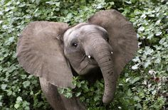 """Baby elephant Chima (which means """"surprise"""") runs through the bush at the Botlierskop game farm near Mossel Bay, about 400 kilometers east of Cape Town, South Africa, on November 30, 2009."""