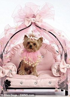 Yorkshire Terrier Lola chills out on her pink bed, lavishly designed just for her
