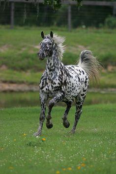 Appaloosa horse running toward you Caballos Appaloosa, Appaloosa Horses, Leopard Appaloosa, Breyer Horses, Most Beautiful Horses, All The Pretty Horses, Rare Horses, Wild Horses, Horse Photos
