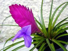 Como cuidar de uma bromélia. Se você gosta de plantas, prefere aquelas fáceis de cuidar mas não aprecia especialmente cactos nem suculentas, certamente irá gostar das bromélias! Esta variedade de plantas floridas se adapta bem à ...