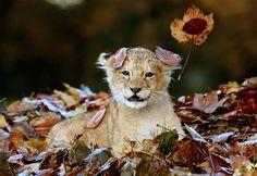 Львенок играет с листьями.