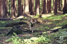 Hunteress by Allerlei on DeviantArt Shiba Inu, More Photos, Deviantart, Dogs, Animals, Instagram, Animales, Animaux, Pet Dogs