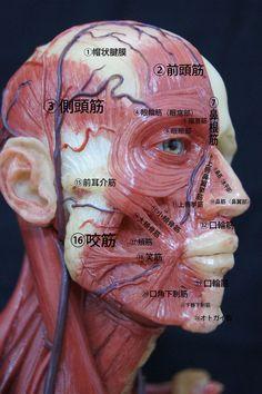 アトナミー顔 Face Muscles Anatomy, Muscle Anatomy, Facial Muscles, Nervous System Anatomy, Human Body Organs, Facial Nerve, Human Anatomy And Physiology, Medical Illustration, Anatomy Reference